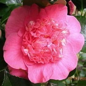 Camellia 'R L Wheeler' - Find Azleas,Camellias,Hydrangea and Rhododendrons at Loder Plants